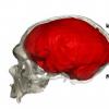 尼安德特人基因为人类大脑进化提供线索