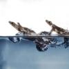 壁虎结合表面张力和脚拍 以保持在水面之上