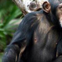 与其他群体发生强烈的领土冲突时 雌性黑猩猩的繁殖成功